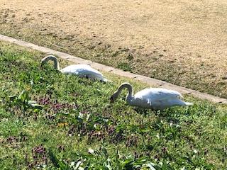 手賀沼の白鳥1