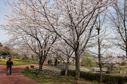 柏ふるさと公園 桜
